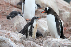 Gentoo penguins, mother and chick, Pygoscelis Papua, Antarctic Peninsula Royalty Free Stock Photo