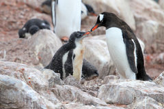 Gentoo penguins, mother and chick, Pygoscelis Papua, Antarctic Peninsula Royalty Free Stock Images