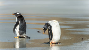 Gentoo penguins near the water over the coast. Royalty Free Stock Images