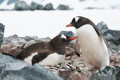 Gentoo penguins on the nest Stock Images
