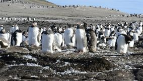 Gentoo Penguins on the nest stock footage
