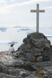 Gentoo penguins nest in a lonely grave. Royalty Free Stock Photo