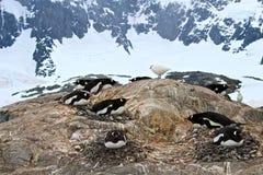 Gentoo penguins nesting against mountain background, Antarctica Stock Photo