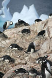 Gentoo penguins, nesting, with coromorants in background. 
