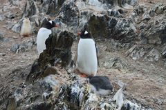 Gentoo Penguins. penguin chick Stock Photos