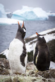 Gentoo penguins penguins Stock Image
