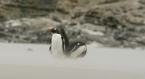 Gentoo penguins (Pygoscelis papua) Royalty Free Stock Photography