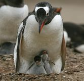Gentoo penguins (Pygoscelis papua) Stock Photography