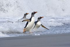 Gentoo penguins (Pygoscelis papua) Stock Photos