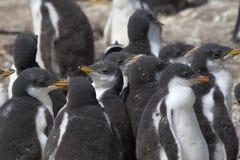 Gentoo penguins (Pygoscelis papua) Royalty Free Stock Image