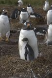 Gentoo penguins (Pygoscelis papua) Stock Photo