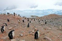 Gentoo penguins, Pygoscelis Papua, Antarctic Peninsula Royalty Free Stock Images