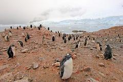 Gentoo penguins, Pygoscelis Papua, Antarctic Peninsula Stock Photography