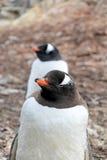 Gentoo penguins, Pygoscelis Papua, Antarctic Peninsula Stock Images