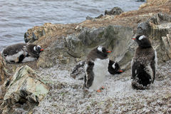 Gentoo penguins, Pygoscelis Papua, Antarctic Peninsula Royalty Free Stock Image