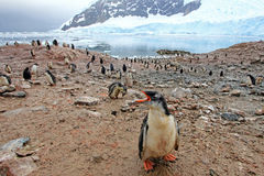 Gentoo penguins, Pygoscelis Papua, Antarctic Peninsula Royalty Free Stock Photo