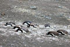 Gentoo penguins, Pygoscelis Papua, Antarctic Peninsula Stock Photos