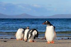 Gentoo penguins, Pygoscelis Papua, Saunders, Falkland Islands Stock Photo