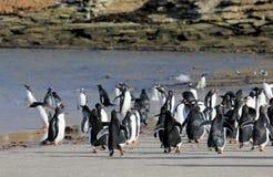 Gentoo penguins, Pygoscelis Papua, Saunders, Falkland Islands Royalty Free Stock Photo