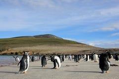 Gentoo penguins, Pygoscelis Papua, Saunders, Falkland Islands Royalty Free Stock Images