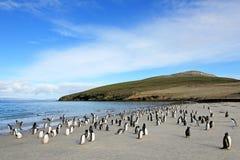 Gentoo penguins, Pygoscelis Papua, Saunders, Falkland Islands Stock Image