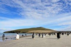 Gentoo penguins, Pygoscelis Papua, Saunders, Falkland Islands Royalty Free Stock Photos