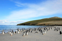 Gentoo penguins, Pygoscelis Papua, Saunders, Falkland Islands