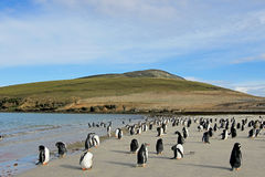 Gentoo penguins, Pygoscelis Papua, Saunders, Falkland Islands Stock Photos
