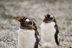 Gentoo penguins,Pygoscelis papua,  walking on rocky gravel beach Royalty Free Stock Photos