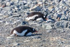 Gentoo penguins relaxing on the stones, Cuverville Island, Antar. Ctic Stock Image