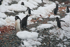 Gentoo penguins, on rocky beach Stock Images