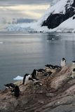 Gentoo penguins, on rocky beach Stock Image