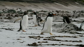 Gentoo Penguins running around on the beach stock video footage