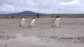 Gentoo penguins running on the beach at Falkland Islands