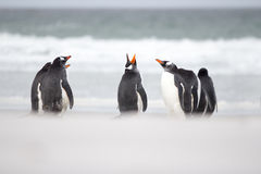 Gentoo penguins in the sand by the surf. Stock Image