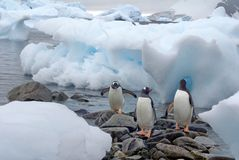 Gentoo penguins on a rocky beach in Antarctica Royalty Free Stock Images