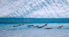 Gentoo Penguins Swimming in Antarctic Waters Stock Photos