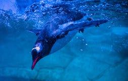 Gentoo penguins. Swimming on Aquarium show stock photography