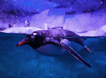 Gentoo penguins Stock Photography