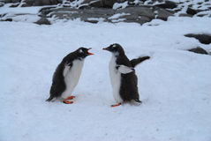 Arguing Penguins Royalty Free Stock Photos