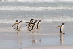Gentoo penguins waddle out of the sea Stock Photography