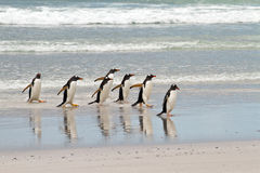 Gentoo penguins waddle out of the sea Royalty Free Stock Photos