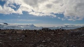 Gentoo Penguins walk on the beach stock video