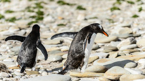 Gentoo penguins walk over the stones. Royalty Free Stock Image