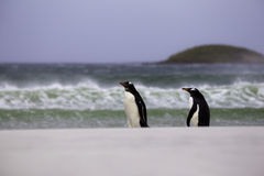 2 Gentoo Penguins walking by the breaking waves. Falkland Island Stock Photos