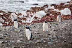 Gentoo penguins walking onto the beach, Antarctica Royalty Free Stock Image