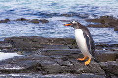 Gentoo Penguins walking standing the rocks at water's edge. Stock Image