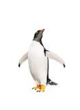 Gentoo-Pinguin über weißem Hintergrund Stockfotografie