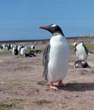 Gentoo Pinguin Stockbild