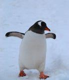 Gentoo-Pinguin Lizenzfreies Stockfoto